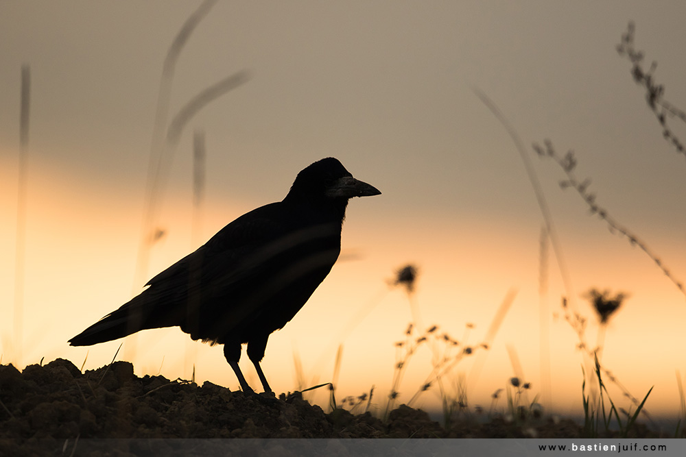 corbeau-freux-291016-3729