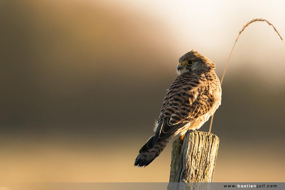 faucon-crecerelle-301016-3850